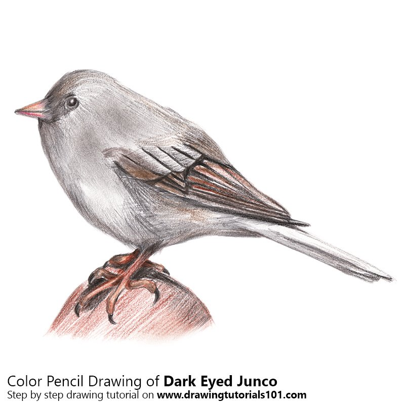 Dark-Eyed Junco Color Pencil Drawing