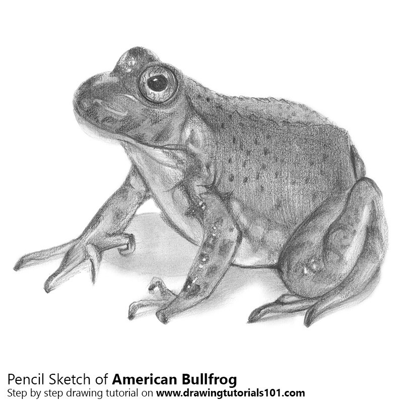 Pencil Sketch of an American Bullfrog - Pencil Drawing