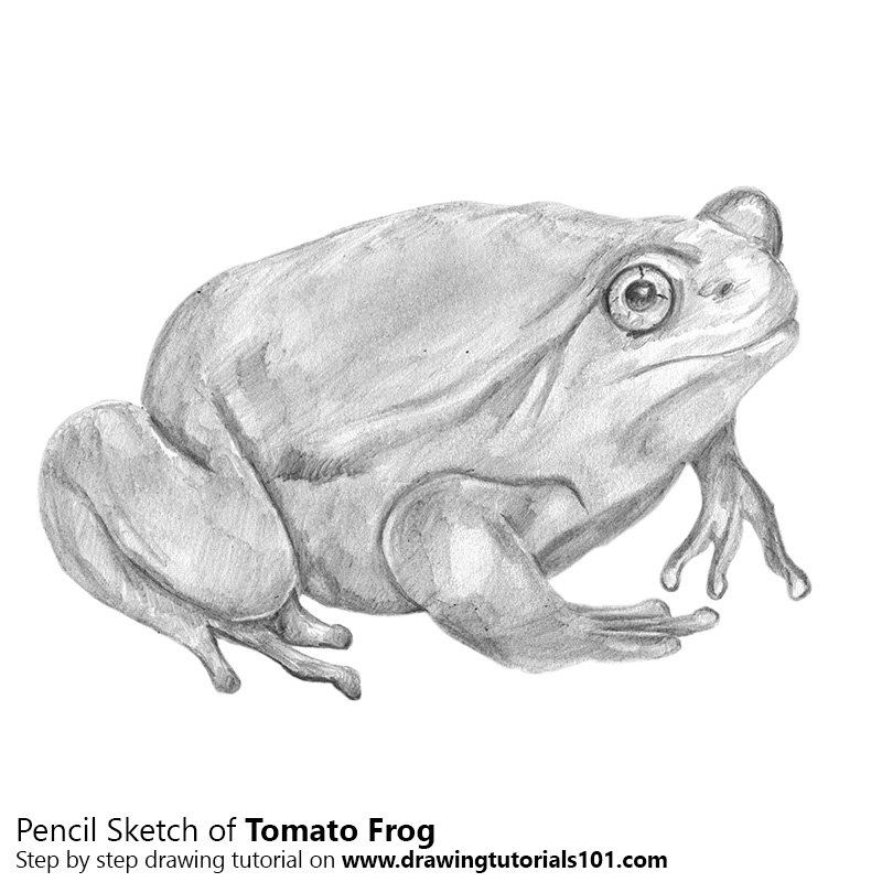Pencil Sketch of Tomato Frog - Pencil Drawing