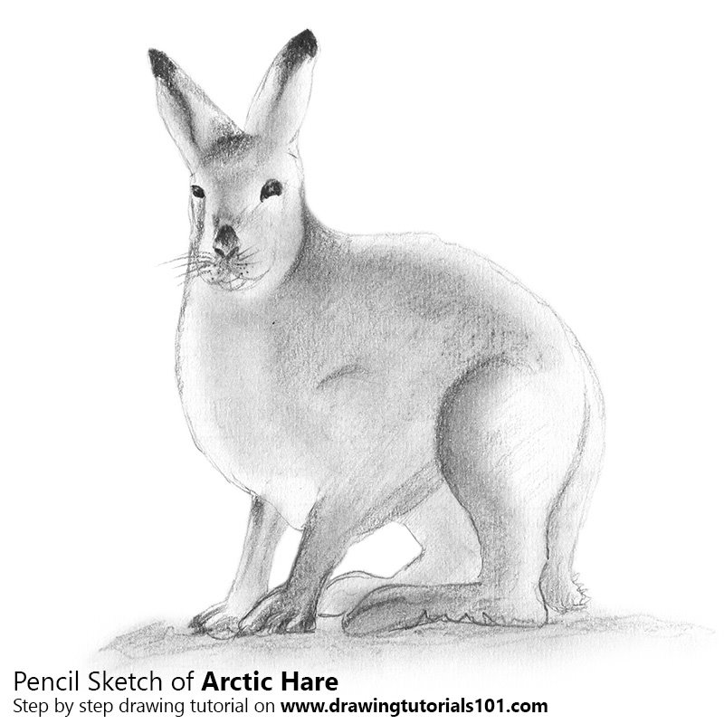 Pencil Sketch of Arctic Hare - Pencil Drawing