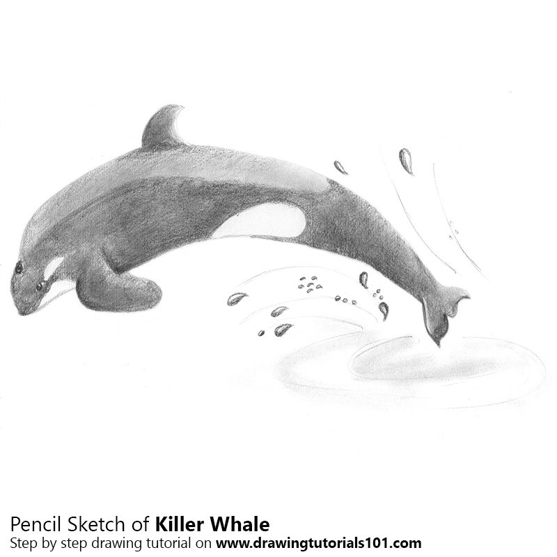 Pencil Sketch of Killer Whale - Pencil Drawing
