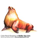 How to Draw a Steller Sea Lion