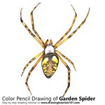 How to Draw a Garden Spider