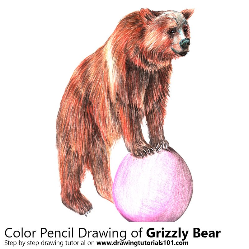 Grizzly Bear Color Pencil Drawing