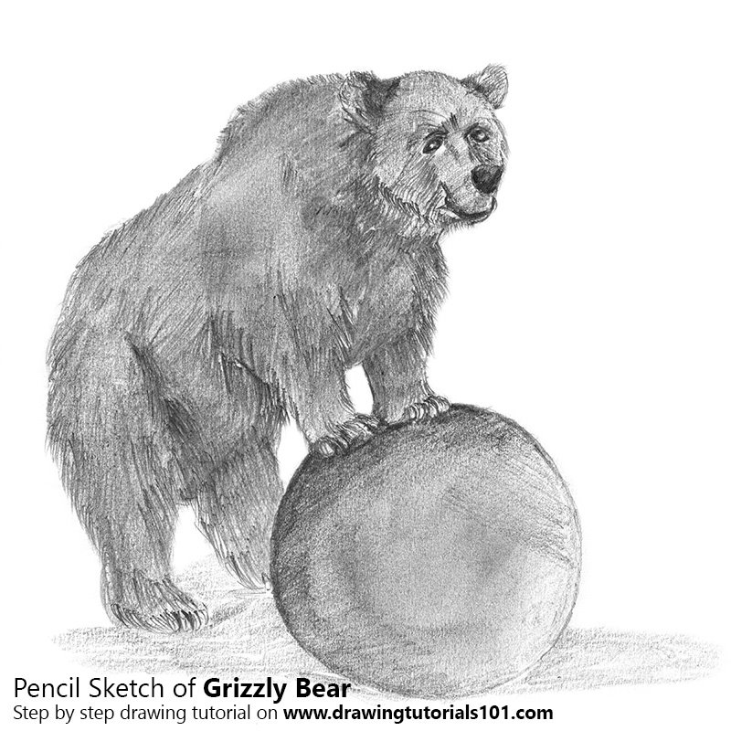 Pencil Sketch of Grizzly Bear - Pencil Drawing