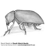 How to Draw a Death Watch Beetle