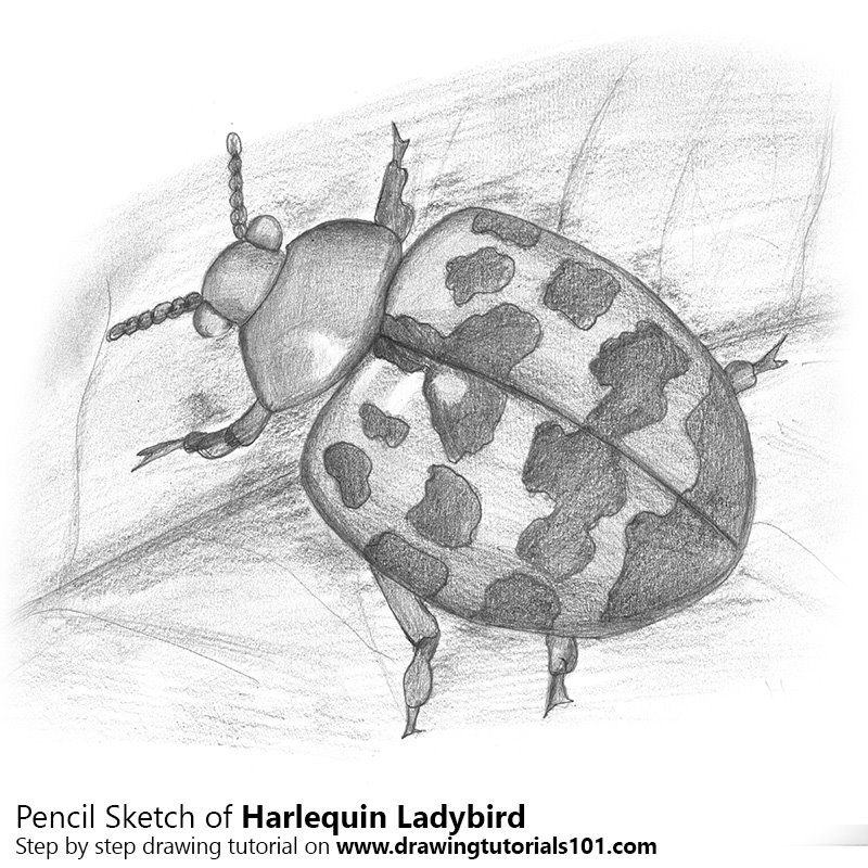 Pencil Sketch of Harlequin Ladybird - Pencil Drawing