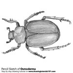 How to Draw an Osmoderma Beetle