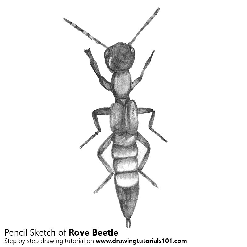 Pencil Sketch of Rove Beetle - Pencil Drawing