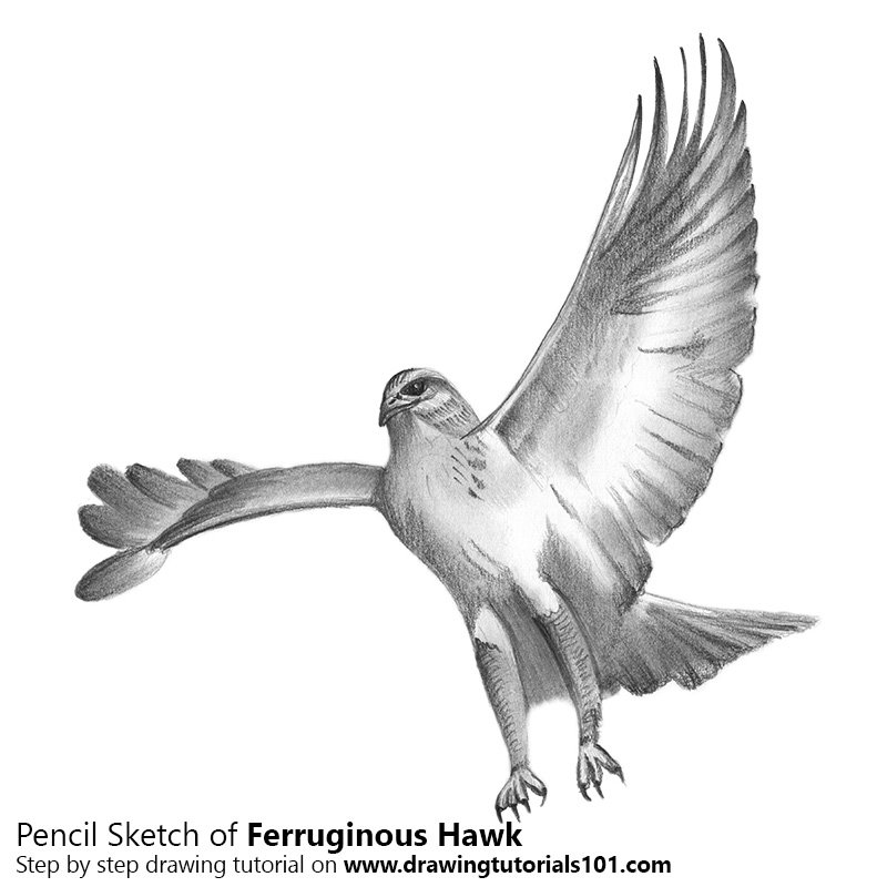 Pencil Sketch of Ferruginous Hawk - Pencil Drawing