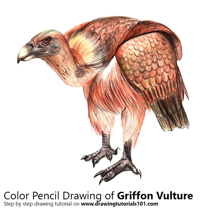 Griffon Vulture with Pencils Color Pencil Drawing