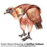 How to Draw a Griffon Vulture