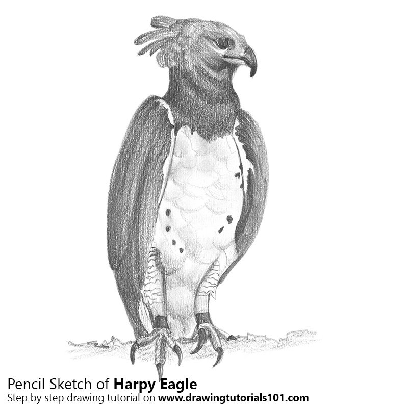Pencil Sketch of Harpy Eagle - Pencil Drawing