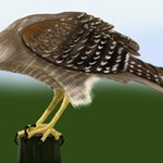 How to Draw a Hawk