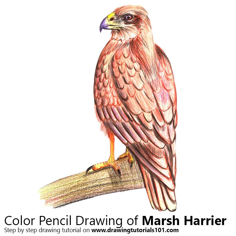 Marsh Harrier Color Pencil Drawing