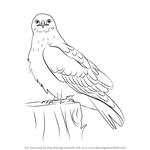 How to Draw a Rough-Legged Hawk