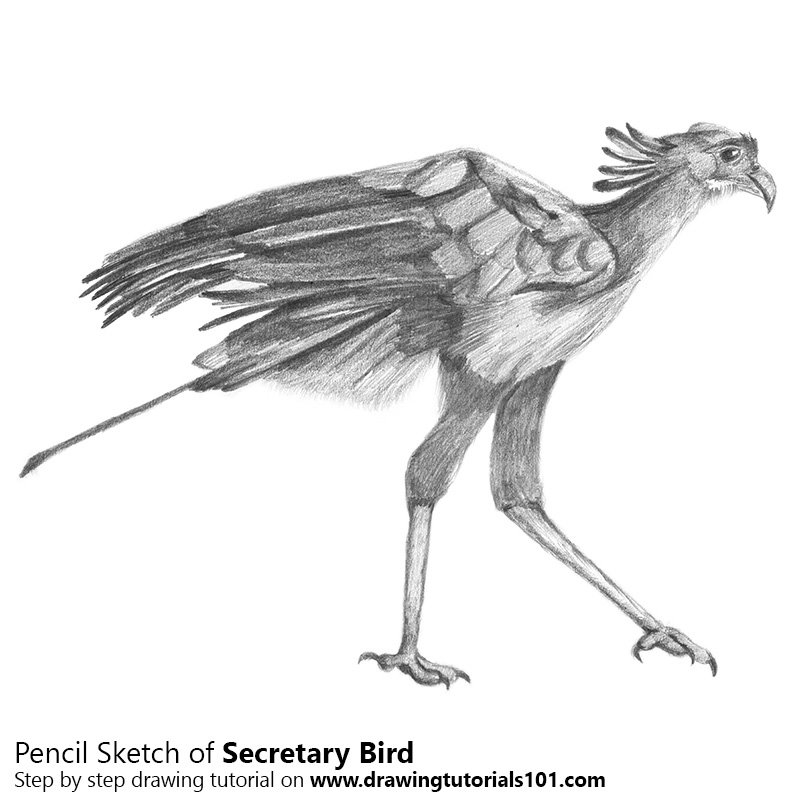 Pencil Sketch of Secretary Bird - Pencil Drawing