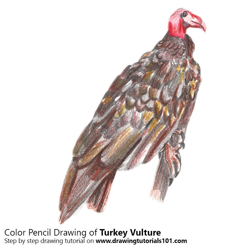 Turkey Vulture Color Pencil Drawing