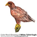 How to Draw a White-Tailed Eagle
