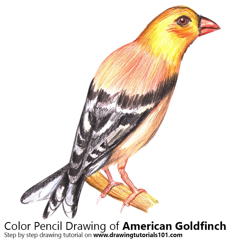 American Goldfinch Color Pencil Drawing
