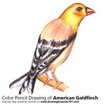 How to Draw an American Goldfinch