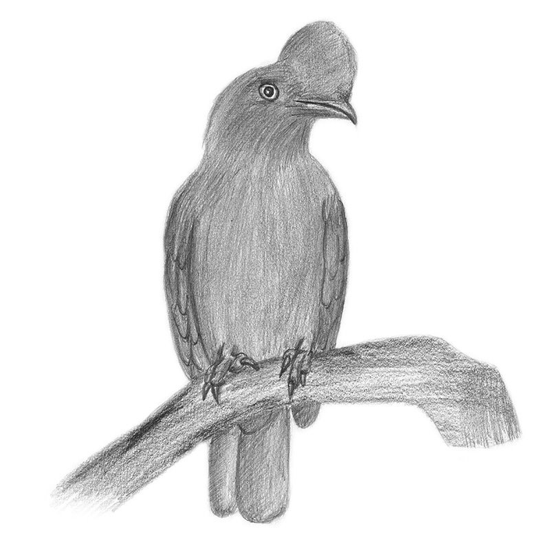 Pencil Sketch of Andean cock-of-the-rock - Pencil Drawing