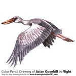 How to Draw an Asian Openbill in Flight