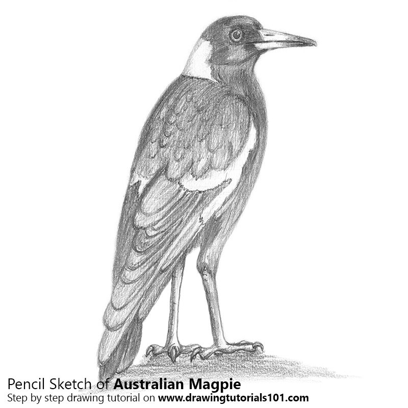 Pencil Sketch of Australian Magpie - Pencil Drawing