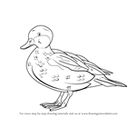 How to Draw a Bahama Pintail