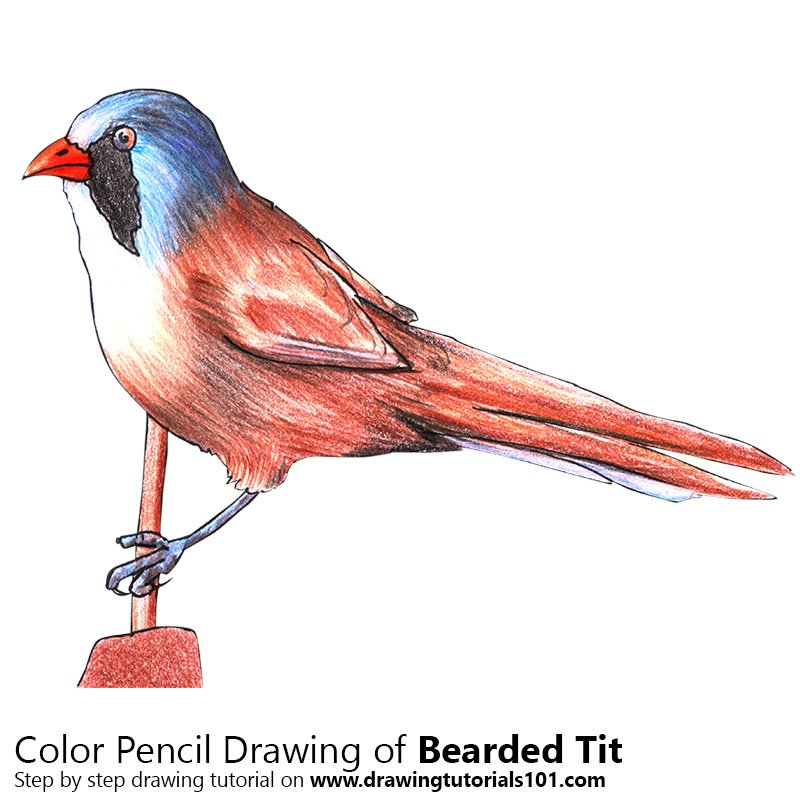 Bearded Tit Color Pencil Drawing