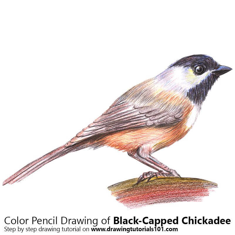 Black-Capped Chickadee Color Pencil Drawing