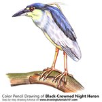 How to Draw a Black-Crowned Night Heron