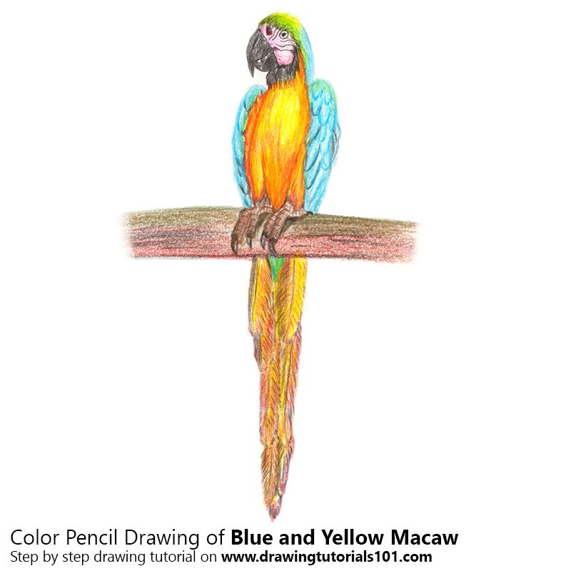 Blue and Yellow Macaw Color Pencil Drawing