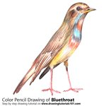 How to Draw a Bluethroat