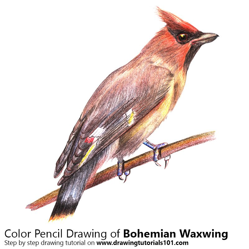 Bohemian Waxwing Color Pencil Drawing