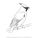 How to Draw Bohemian Waxwing