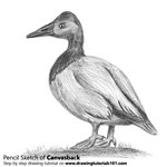 How to Draw Canvasback