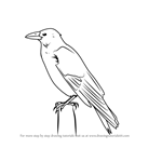 How to Draw a Carrion Crow