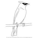 How to Draw a Cedar Waxwing