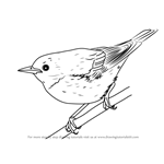 How to Draw a Cerulean Warbler