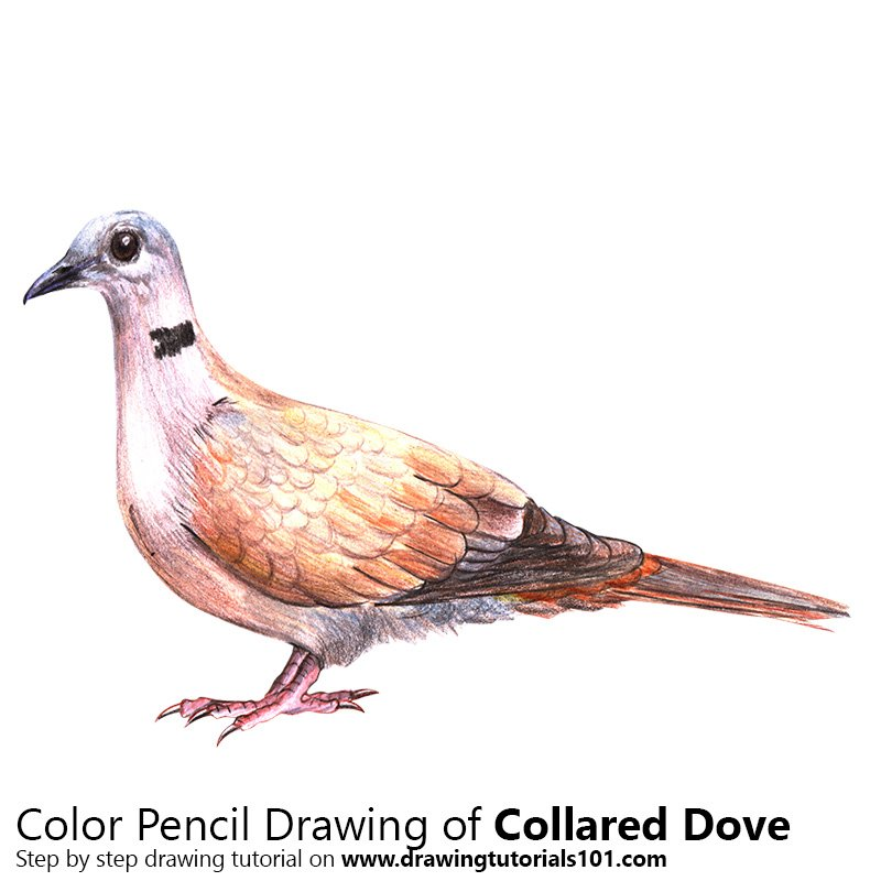 Collared Dove Color Pencil Drawing