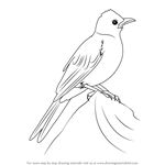 How to Draw a Common Bulbul