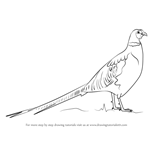 How to Draw a Common pheasant