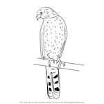 How to Draw a Cooper's Hawk