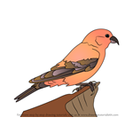 How to Draw a Crossbill Bird