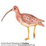 How to Draw a Curlew