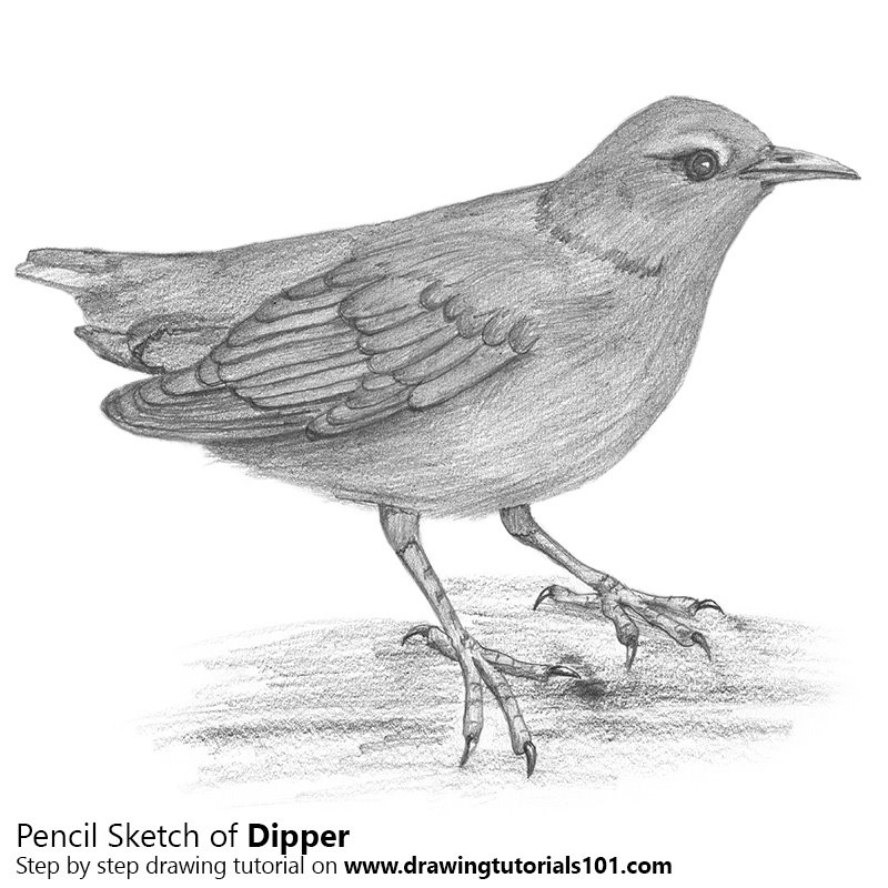 Pencil Sketch of Dipper - Pencil Drawing