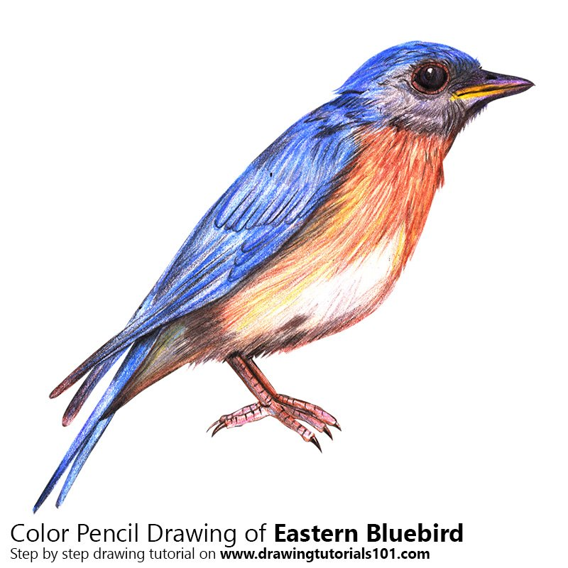 Eastern Bluebird Color Pencil Drawing