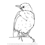 How to Draw Eastern towhee