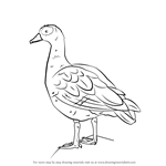 How to Draw an Egyptian Goose